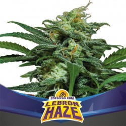 Lebron Haze XXL Auto BSF Seed