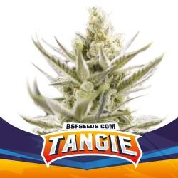 Tangie XXL Auto BSF Seed