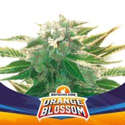 Orange Blossom XXL Auto BSF Seed