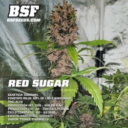 Red Critical Auto BSF Seed