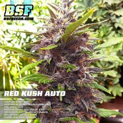 Red Kush Auto BSF Seed