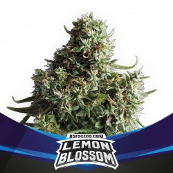 Lemon Blossom XXL Auto BSF Seed